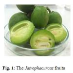 Fig. 1: The Jatropha curcas fruits